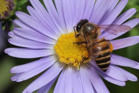 Bee in Bangkok